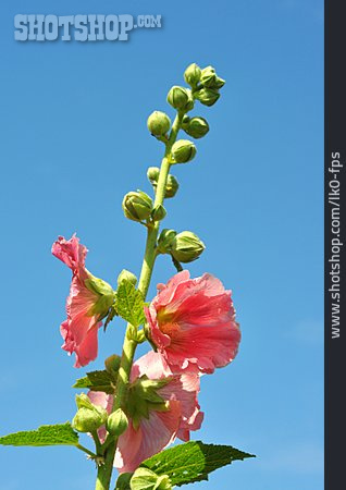 Blossom, Hollyhock