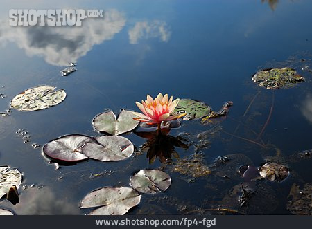 Water Lily, Rose Pond