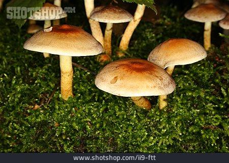 Mushroom, Hypholoma