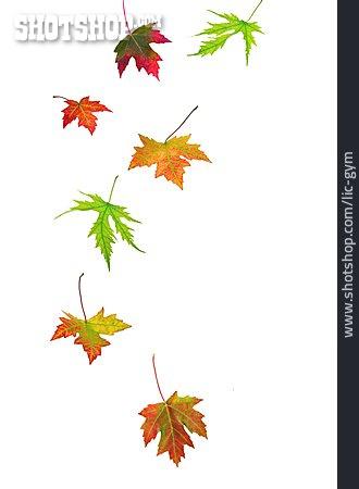 Autumn, Leaves, Maple Leaf