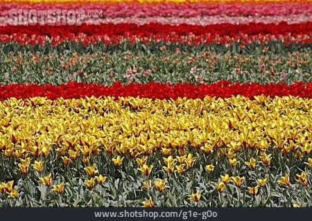 Tullips, Tulip Bed