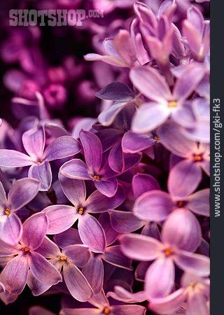 Lilac, Lilac Blossom