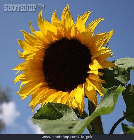 Sunflower, Sunflower Blossom