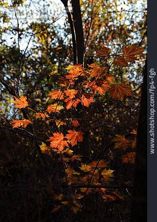 Maple Leaf, Maple Tree