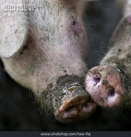 Livestock, Pork, Piglet