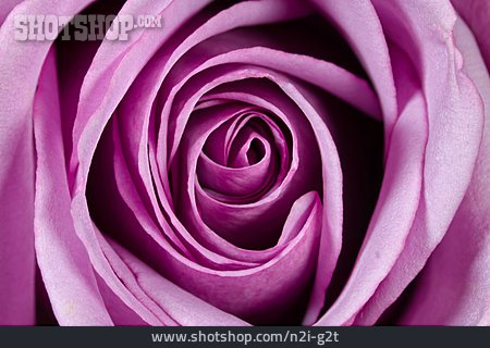 Rose, Blossom, Rose Petals