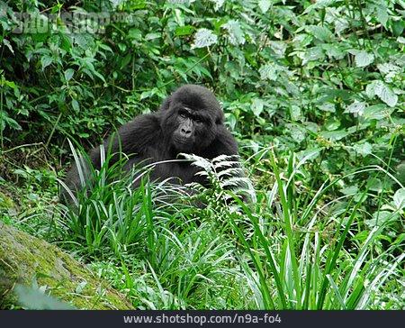 Monkey, Rainforest, Mountain Gorilla