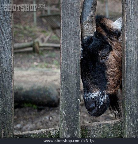 Solitude & Loneliness, Animal Portrait, Chamois