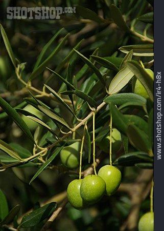 Olive Branch, Olives