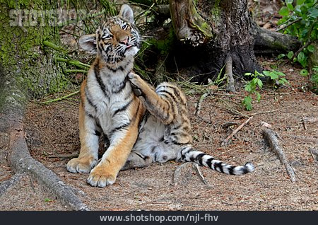 Young Animal, Scratching, Tiger