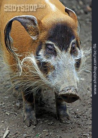 Wild Boar, Bush Pig