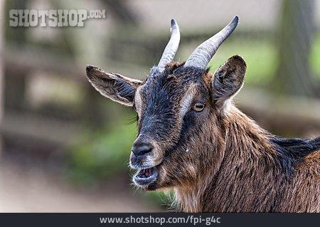 Goat, Pygmy Goat