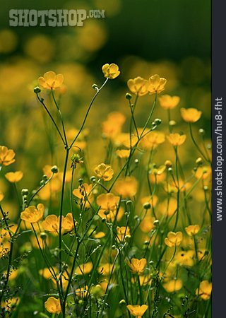 Blossom, Buttercup, Globe-flower