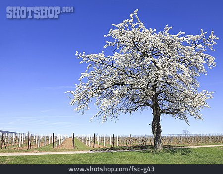 Tree, Cherry Tree, Spring, Fruit Tree