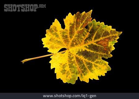 Grape Leaf, Leaf