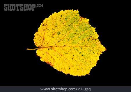 Autumn Leaf, Hazel Leaves, Hazel Leaf