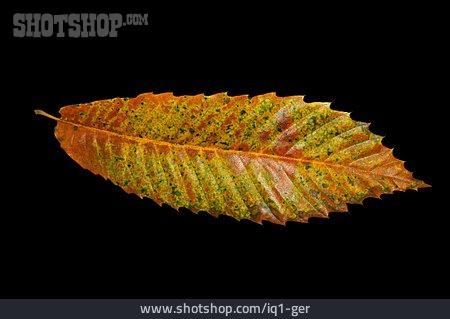 Chestnut Leaf, Leaf