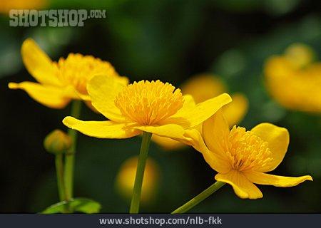Field Marigold