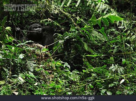 Rainforest, Mountain Gorilla