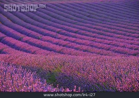 Lavender, Lavender Blossom, Lavender Field