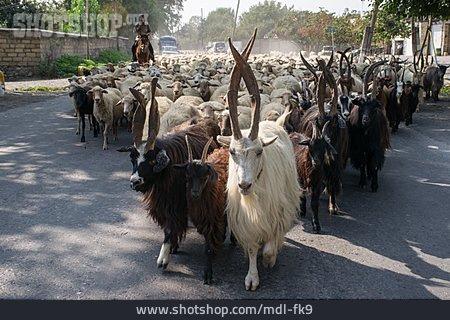 Sheep, Sheep Herd, Goats, Goat Herd