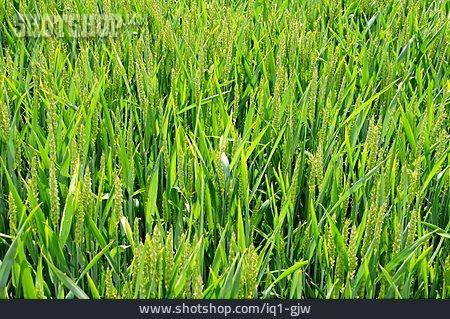 Wheat, Wheat Field