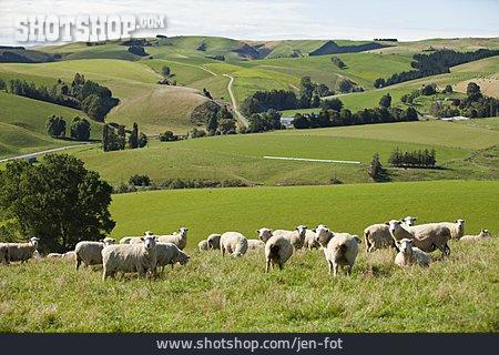 New Zealand, Merino