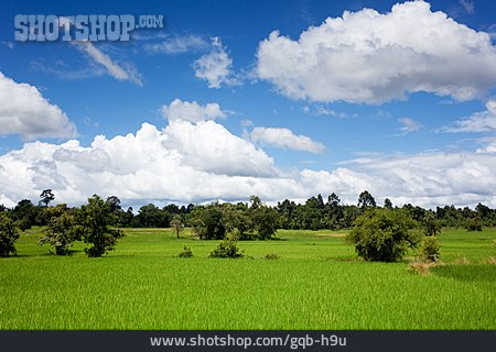 Paddy, Rice Cultivation