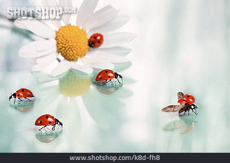 Lady Beetle, Marguerite, Lucky Charms