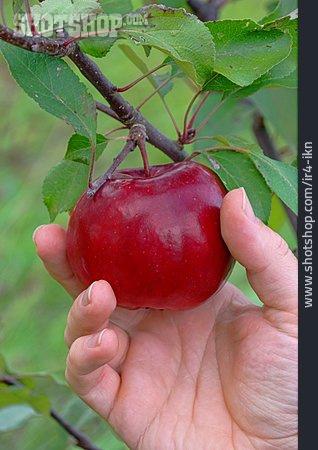 Apple, Pick, Harvesting