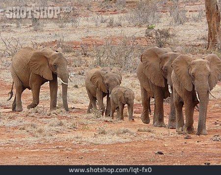 Animal Family, Elephant, Elephant Family
