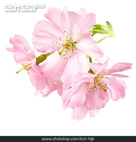 Pink, Cherry Blossom