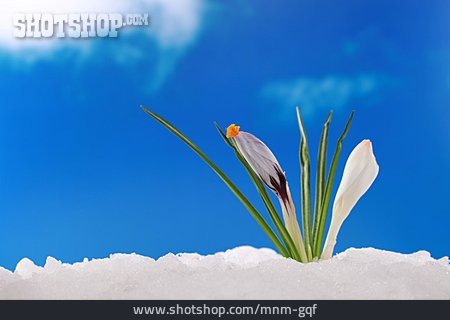 Growth, Spring, Crocus