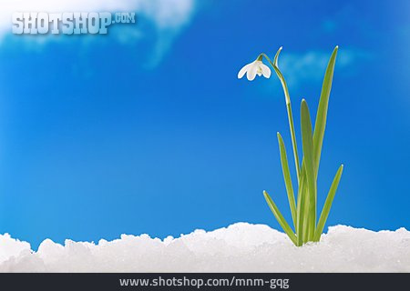 Growth, Spring, Snowdrop