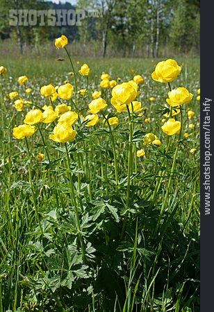 Buttercup, Globe-flower