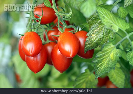 Reif, Tomato, Tomato Plant