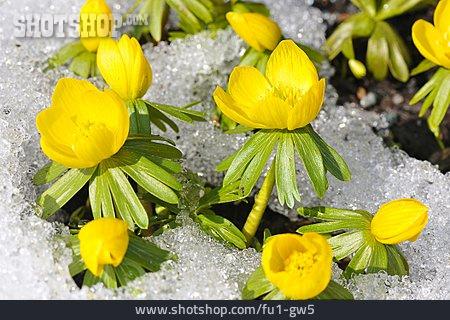 Blossom, Winterling