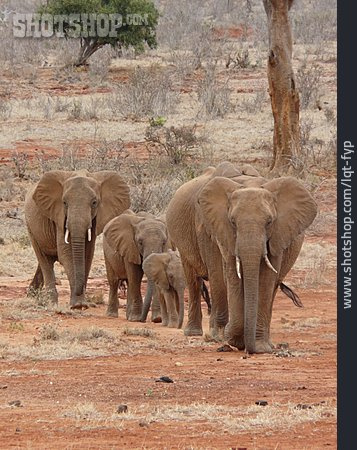 Animal Family, Elephant, Elephant Family