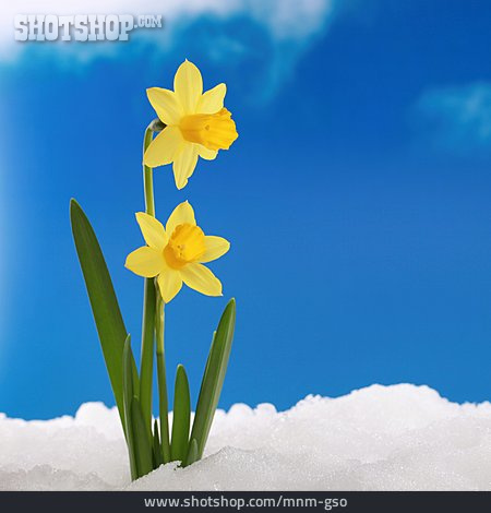Spring, Easter Daffodil