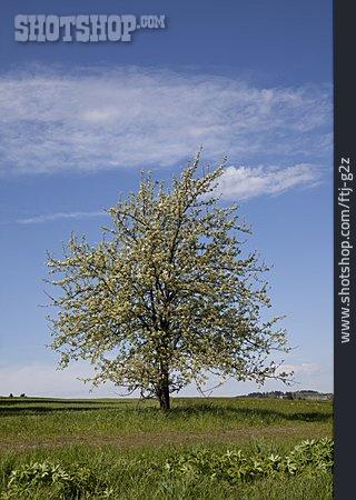 Cherry Tree, Tree Blossom