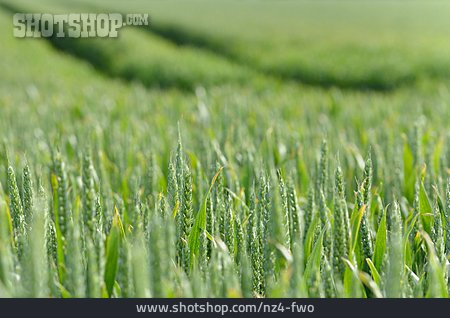 Wheat, Wheat Field, Corn Field