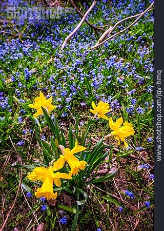 Spring, Daffodil, Chionodoxa