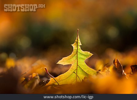 Oak Leaf, Autumn Leaf