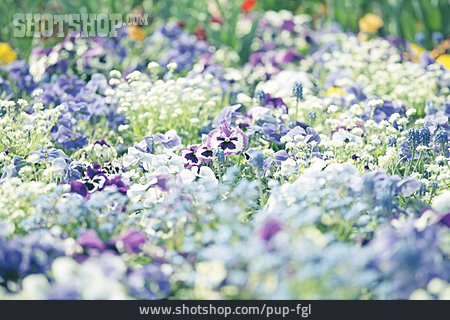Violet, Pansy, Sea Of Flowers