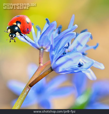 Lady Beetle, Good Luck Charm