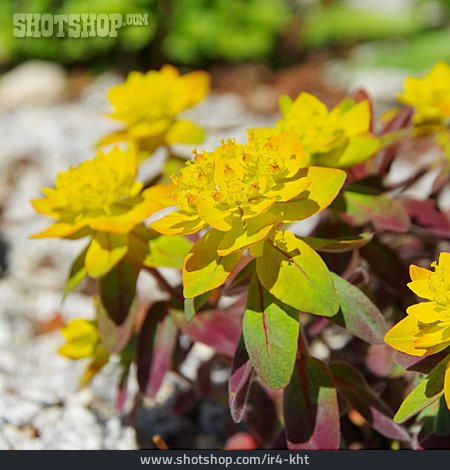 Milkweed, Euphorbia, Cushion Spurge