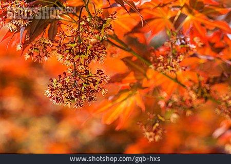 Maple Tree, Japanese Maple