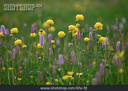 Wet Meadow, Globe-flower, Persicaria Bistorta