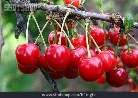 Cherry Tree, Twig, Cherry