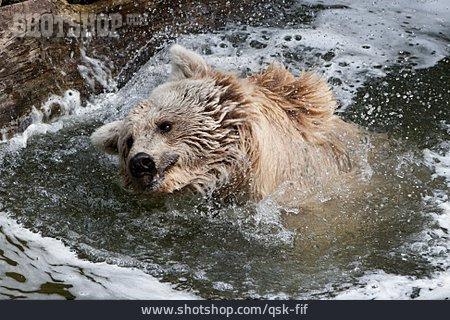 Bear, Brown Bear